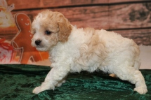 Elsa Female Cavapoo $2000 Ready 12/23 HAS DEPOSIT MY NEW HOME North Palm Beach, FL 1.6lb 5W2D Old