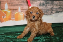 Eve Female CKC Mini Labradoodle $2000 Ready 12/23 HAS DEPOSIT MY NEW HOME WINDERMERE, FL 2.1lb 5w1d old