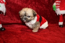Fraser Male CKC Shorkie $2000 BUT WAIT SPECIAL $1750 Ready 12/18 AVAILABLE 1lb 3 OZ 8W1D Old