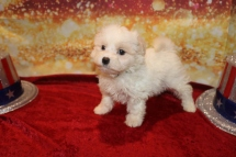 Gatsby Male CKC Malshipoo $1750 Ready 1/3 HAS DEPOSIT MY NEW HOME FLEMING ISLAND, FL 1LB 15OZ 7W OLD