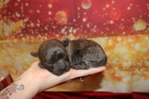 Hot Stuff Male CKC Malshipoo $2000 Ready 2/12 AVAILABLE 10 oz 1W5D Old