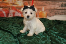 Indiana Female CKC Snorkie $1750 Ready 12/3 SOLD MY NEW HOME SAVANNAH, GA 2.1lb 8w1d old