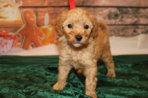 Jingles Male CKC Mini Labradoodle $2000 Ready 12/23 HAS DEPOSIT MY NEW HOME LAKE CITY, FL 2lb 5w1d old