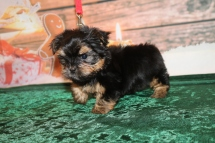 Joy Joy Female CKC Havashire a/k/a Yorkinese $1750 Ready 12/3 SOLD MY NEW HOME WINTER GARDENS, FL 1 Lb 8oz 7w6d old