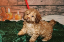 Jumba Male CKC Malshipoo $2000 Ready 11/5BECAME AVAILABLE AGAIN 2.13lbs 12w2d old