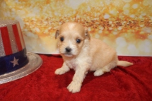 Marley Male CKC Havapoo $2000 Ready 1/28 SOLD MY NEW HOME ST AUGUSTINE, FL 1lb 3w5d old