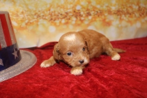 Miles Male CKC Havapoo $2000 Ready 1/28 SOLD MY NEW HOME Miami, FL 6 OZ 2 Days Old