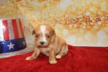 Milly Female CKC Havapoo $2000 Ready 1/28 AVAILABLE 9.5oz 3w5d old