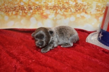 Mr Hunk Male CKC Malshipoo $2000 Ready 2/12 AVAILABLE 10 oz 1W5D Old