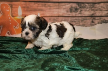 Noel Female CKC Shihpoo $1750 Ready 12/24 HAS DEPOSIT SHHH I'm a Christmas Surprise! 1lb 5oz 2W5D OLD