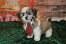 Noodles (Oliver) Male CKC Havashu $1750 Ready 11/19 SOLD! MY NEW HOME ALTAMONTE SPRINGS, FL 3.10lb 10w4d old