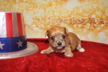Prince Eric Male CKC Morkie $1750 Ready 1/28 AVAILABLE 14OZ 3W2D OLD