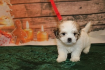 Prince Harry Male CKC Malshi $1750 Ready 12/18 HAS DEPOSIT MY NEW HOME RIDGELAND, MS 1.14lb 6w1d old