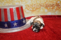 Spice Female Havapoo $2000 Ready 2/8 HAS DEPOSIT MY NEW HOME JACKSONVILLE, FL 11.5 oz 2 Weeks old