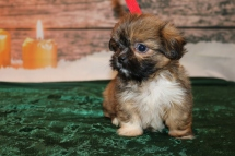 Spruce Male CKC Shorkie $1750 Ready 12/18 HAS DEPOSIT MY NEW HOME JACKSONVILLE, FL 1.6lb 6w1d old