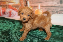 Star Female CKC Mini Labradoodle $2000 Ready 12/23 HAS DEPOSIT MY NEW HOME TAMPA, FL 1.8lb 5w1d old