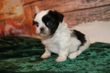 Tinsel Female CKC Shihpoo $2000 Ready 12/24 DEPSOLDOSIT MY NEW HOME ORLANDO, FL 14.4OZ 2W5D OLD