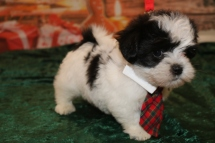 Ace Male CKC Malshipoo $1750 Ready 12/3 AVAILABLE 2.5lb 7w3d old