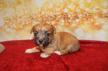 Prince Aladdin Male CKC Morkie $1750 Ready 1/28 AVAILABLE 13.5OZ 3W2D OLD