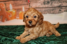 Christmas Male CKC Mini Labradoodle $2000 Ready 12/23 HAS DEPOSIT Shhh I'm a Christmas Surprise 2lbs 5w1d old
