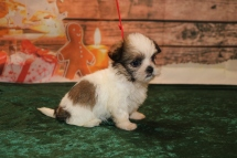 Douglas Male CKC Shorkie $1750 Ready 12/18 HAS DEPOSIT MY NEW HOME JACKSONVILLE, FL 1.8lb 6w1d old