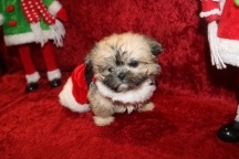 Fraser Male CKC T-cup Shorkie $2000 BUT WAIT SPECIAL $1750 Ready 12/18 AVAILABLE 1lb 3 OZ 8W1D Old