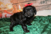 Holly Female CKC Havapoo $1750 Ready 12/23 HAS DEPOSIT! My new home is in Monticello, Fl! 2 Lbs 10oz 5W4D old