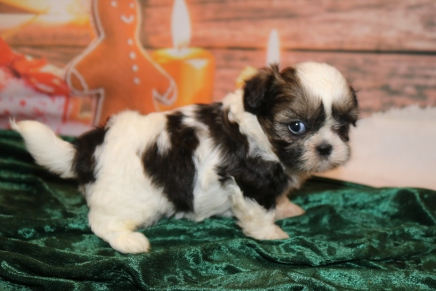 Noel Female CKC Shihpoo $1750 Ready 12/24 HAS DEPSOIT SDhhhh I'm a Christmas Surprise! 1 lb 11.5 oz 5W2D Old OLD