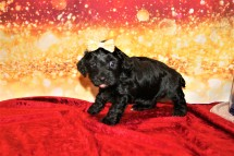 Alle B female CKC Maltipoo $1750 Ready 1/20 HAS DEPOSIT MY NEW HOME TIFTON, GA 2lbs 11 oz 4W3D Old