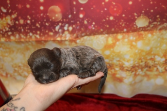 Babe Girl Female CKC Malshipoo $2000 Ready 2/12 HAS DEPOSIT MY NEW HOME HINESVILLE, GA 8.5oz 12 Days Old