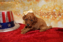 Candy Female CKC Mini Labradoodle $2000 Ready 1/25 HAS DEPOSIT MY NEW HOME JACKSONVILLE, FL 1lb 3w6d old