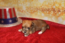 Princess Jasmine Female CKC Morkie $2000 Ready 1/28 AVAILABLE 14OZ 3W2D OLD