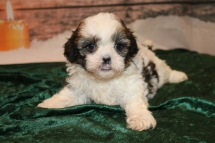 Nick Male CKC Shihpoo $1750 Ready 12/24 SOLD MY NEW HOME PONTE VEDRA, FL 2 Lbs 8 oz 5W3D old