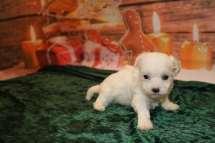 Gatsby Male CKC Malshipoo $1750 Ready 1/3 AVAILABLE 1.1lb 4wk old