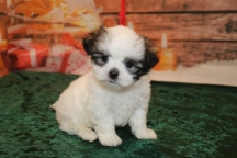 Prince Henry Male CKC Malshi $1750 Ready 12/18 HAS DEPOSIT MY NEW HOME RIDGELAND, MS 1 lb 10.5oz 6w1d old