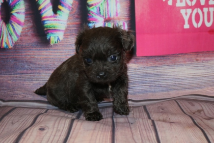 Baby Boo Male CKC Malshipoo $2000 Ready 2/12 SOLD MY NEW HOME JACKSONVILLE, FL 1Lb 6.4 oz 5W2D Old