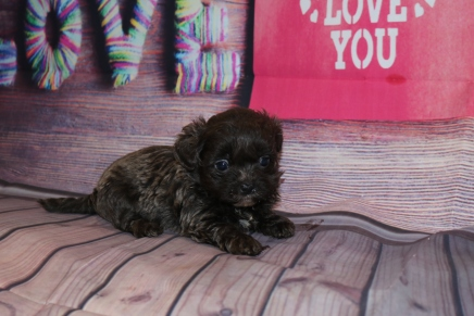 Babe Girl Female CKC Malshipoo $2000 Ready 2/12 SOLD MY NEW HOME HINESVILLE, GA 1LB 1OZ 5W2D OLD