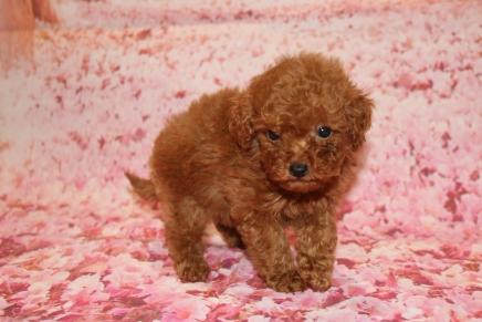 Brownie (Keeva) Female CKC Mini Labradoodle $2000 Ready 1/25 SOLDMY NEW HOME NAPLES FL 15 oz 5W3D Old