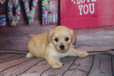 Buttercup Male CKC Morkipoo $1750 Ready 2/12 HAS DEPOSIT MY NEW HOME PUERTO RICO 1Lb 9.5 oz 5W2D Old