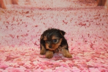 Coco Female CKC Yorkie $1750 Ready 1/24 HAS DEPOSIT MY NEW HOME TITUSVILLE, FL 11.4 OZ 5W4D old