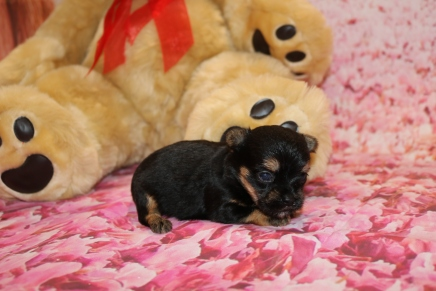 FiFi Female CKC Havashire a/k/a Yorkinese $2000 Ready 2/20 HAS DEPOSIT MY NEW HOME JACKSONVILLE, FL10.4 OZ 2W5D OLD
