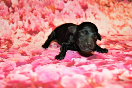 Giggles Female CKC Schnoodle $1750 Ready 3/5 AVAILABLE 5.5 oz Just Born