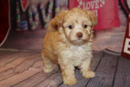 Godiva Female CKC Morkipoo $2000 Ready 2/8 HAS DEPOSIT MY NEW HOME JACKSONVILLE, FL 1 lB 10oz 5W5D Old