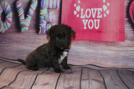 Hot Stuff Male CKC Malshipoo $2000 Ready 2/12 SOLD MY NEW HOME ST AUGUSTINE, FL 15OZ 5W2D OLD
