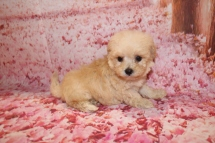 Jade Female CKC Bichpoo $1750 Ready 1/20 HAS DEPOSIT MY NEW HOME ORLANDO, FL 1 Lb 1 oz 6 Weeks old