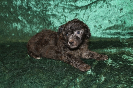 Jesse Male Maltipoo $1750 Ready 3/6 AVAILABLE 1Lb 10.3oz 4W5D Old