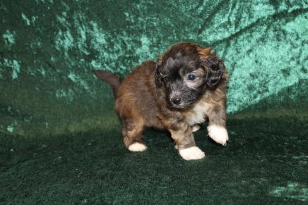 Joey Male Maltipoo $2000 Ready 3/6 AVAILABLE 1Lb 10.3oz 4W5D Old