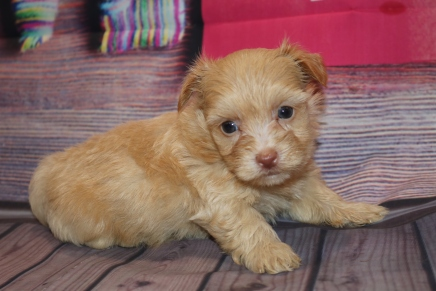 Lancelot Male CKC Yorkipoo $2000 Ready 2/11 HAS DEPOSIT MY NEW HOME PALM HARBOR, FL 1lb 1oz 5w2d old