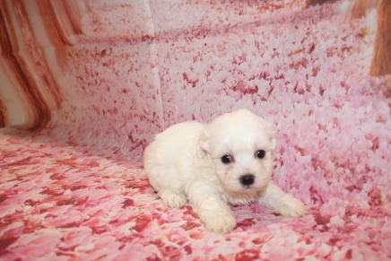 Luke Male CKC Maltese $1750 Ready 1/28 HAS DEPOSIT MY NEW HOME IS JACKSONVILLE, FL 1 Lb 2 oz 5 Weeks Old