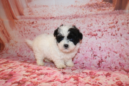 Luke Duke Male CKC Maltipoo $1750 Ready 1/18 AVAILABLE AGAIN 1 Lb 3 oz 6W2D Old